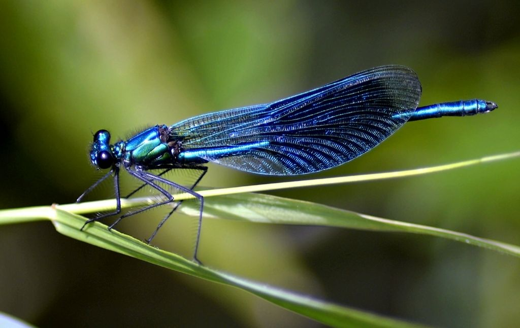 dragonfly edible insect